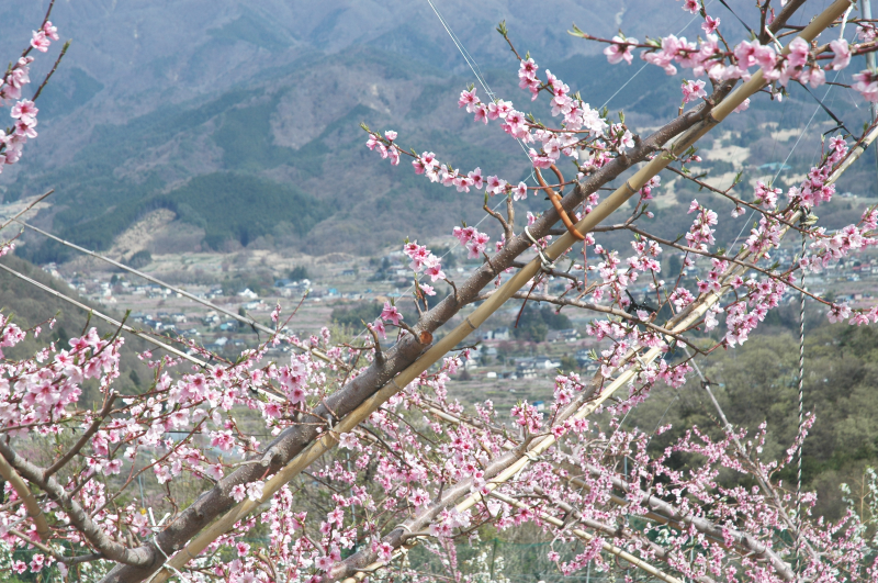 桃の花2019