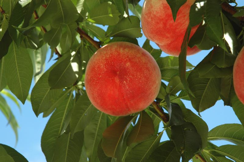一宮白桃収穫