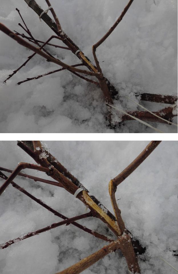 大雪で裂けた桃の幼木
