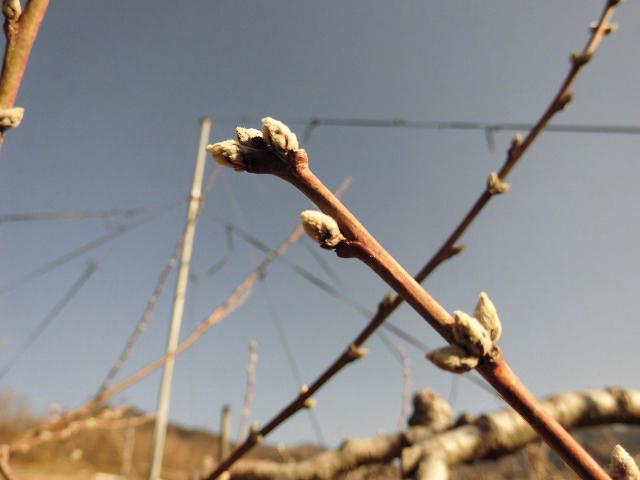 桃の蕾3月中旬