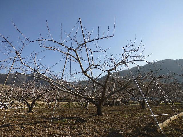 桃の樹3月中旬