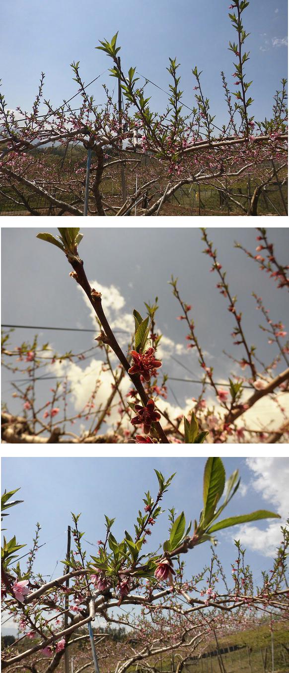 桃 落花 展葉