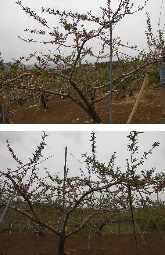 桃 落花、展葉