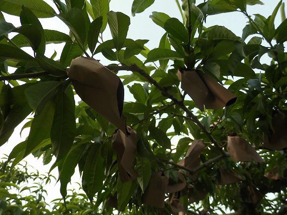 桃の袋かけ