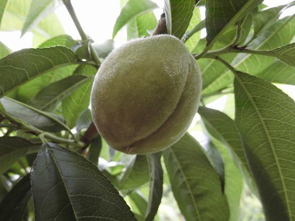 6月上旬 一宮白桃