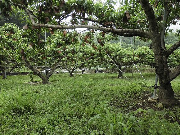桃 草生栽培