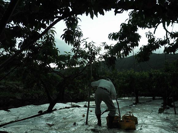 日川白鳳 収穫