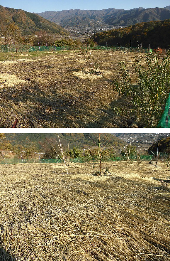 桃 幼木 全面敷き藁