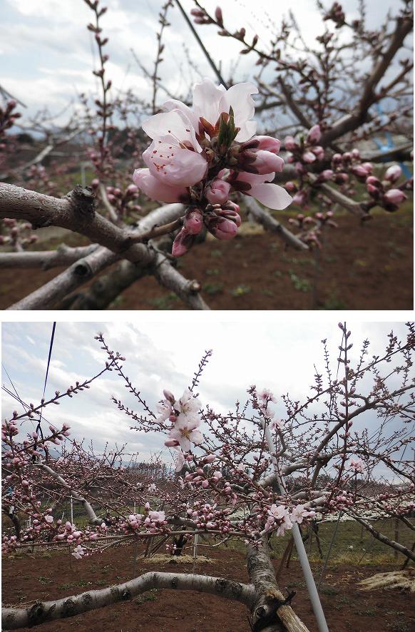 甲州 桃 開花