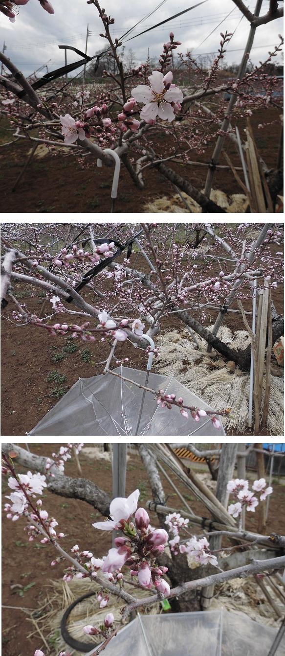 桃 花摘み 花粉採取