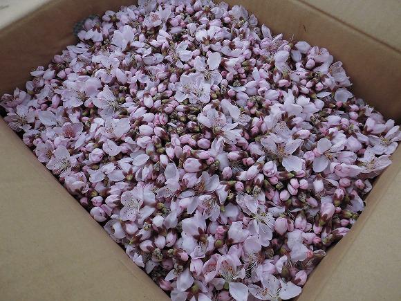 桃 摘んだ花蕾