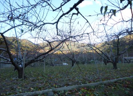 桃の葉もすっかり落ち