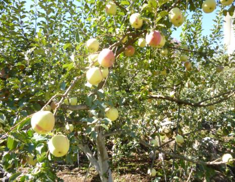 りんご 袋剥き