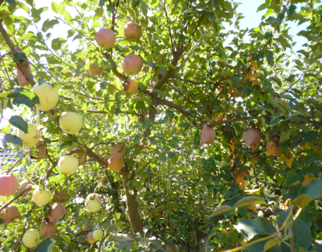 りんごシルバー